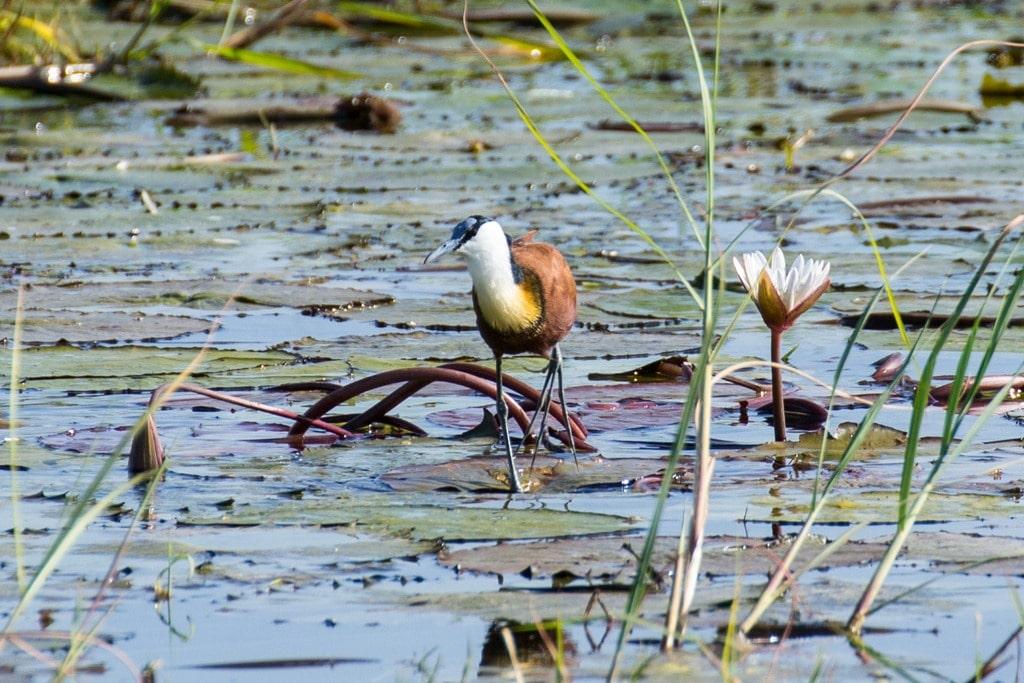 Chobe Bird