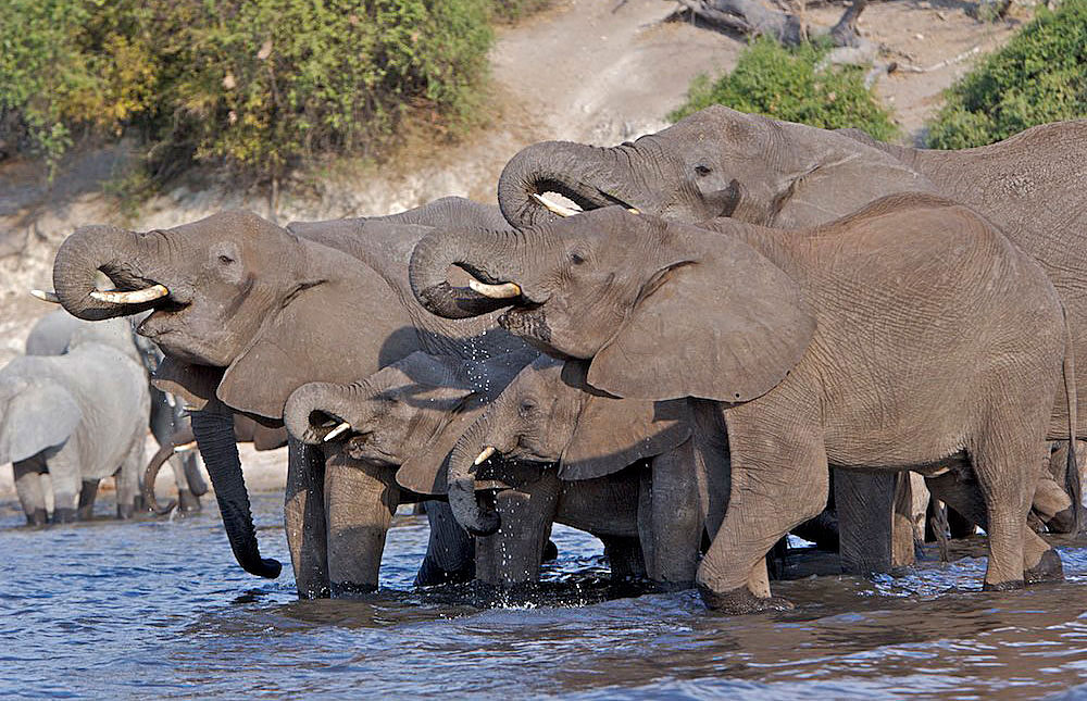 Chobe National Park Elephants