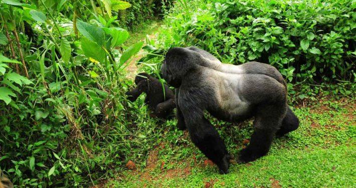 Gorillas in Bwindi Impenetrable National Park
