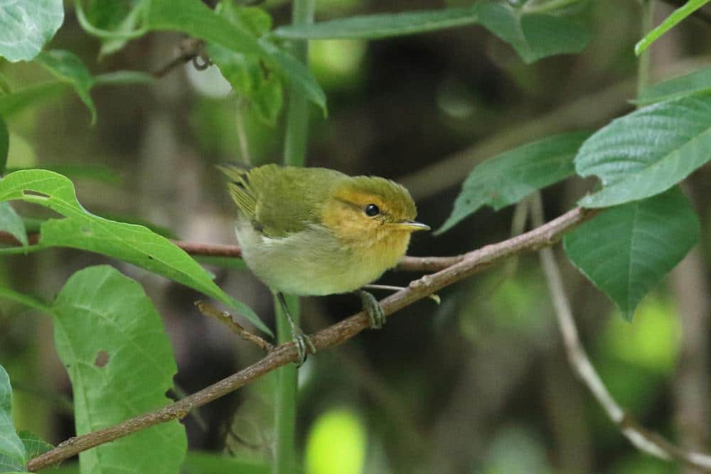 Red-faced Woodland Warbler