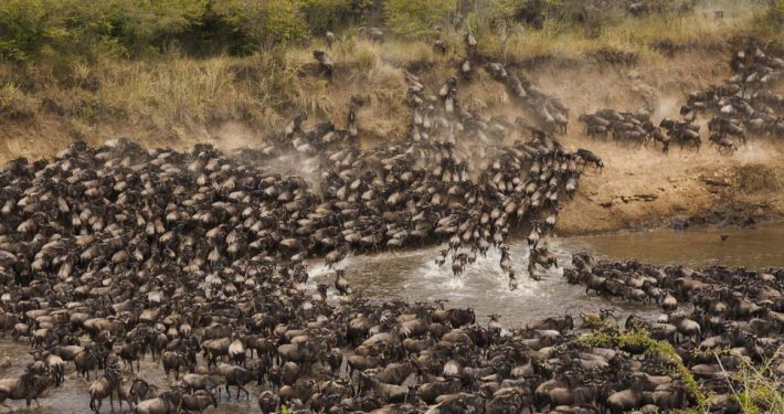 Thousands of Moving Wildebeests