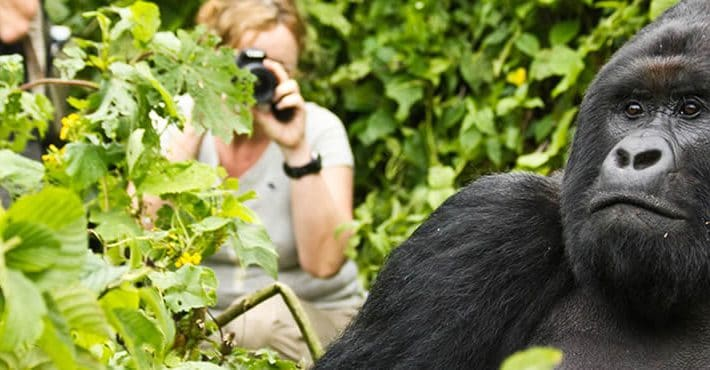 Tourist Photographing a Gorilla in Uganda