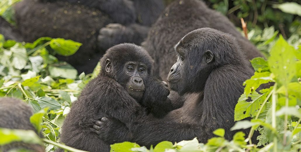 Mountain Gorillas Tours in Bwindi