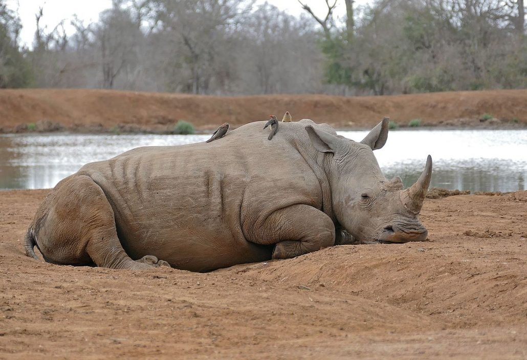 White Rhino at Mbuluzi Game Reserve