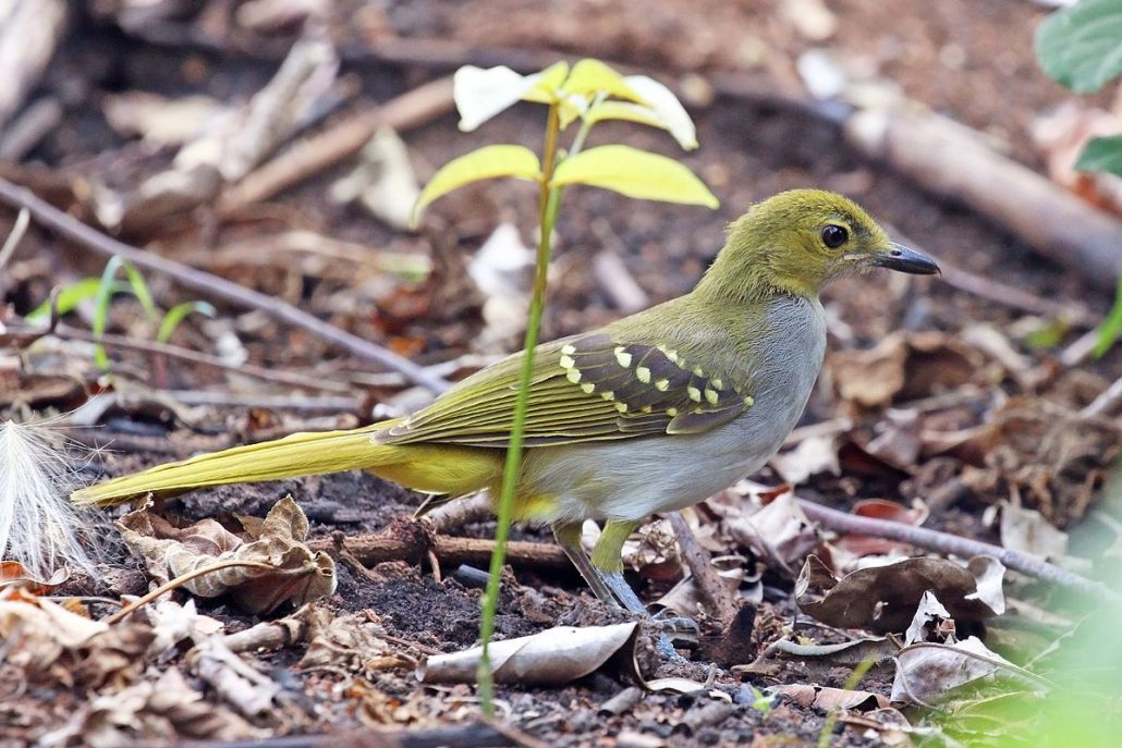 Yellow Spotted Nicator
