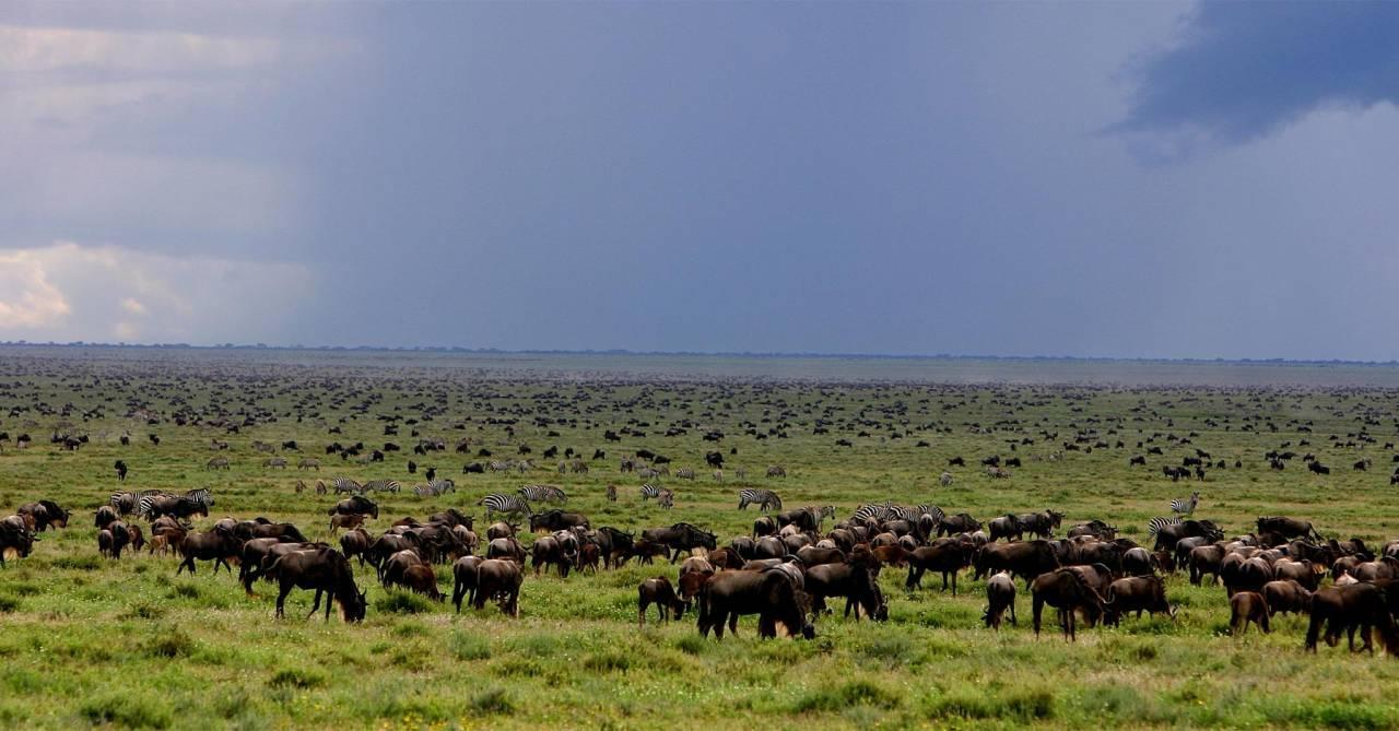Herds of Wildebeest filling the plains in the Ngorongoro Conservation area