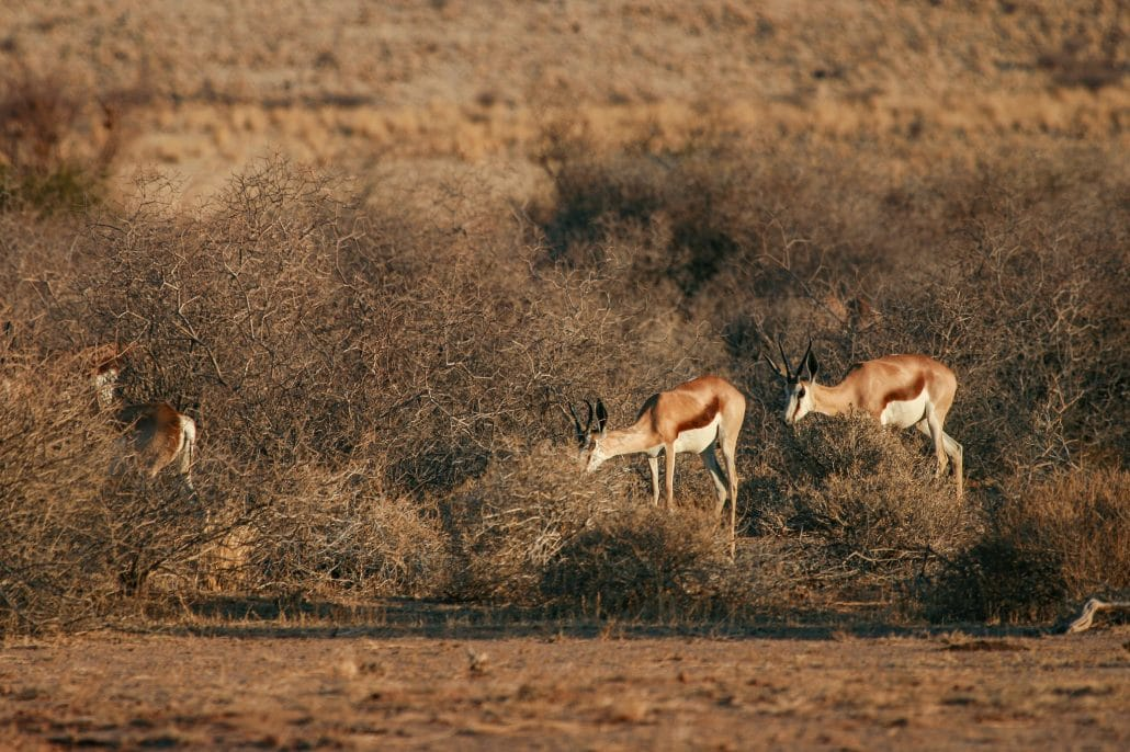 Springboks in Namib-Naukluft National Park