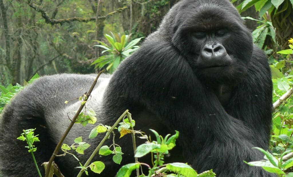 Gorilla Tracking in Uganda, Bwindi