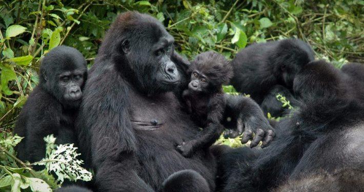 Gorilla Trekking in Nyungwe
