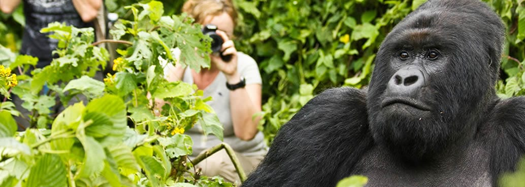 Tourist Photographing a Gorilla in Uganda