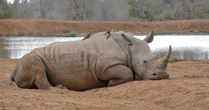 White Rhino at Mbuluzi Game Reserve
