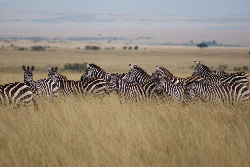 zebras masai mara game reserve