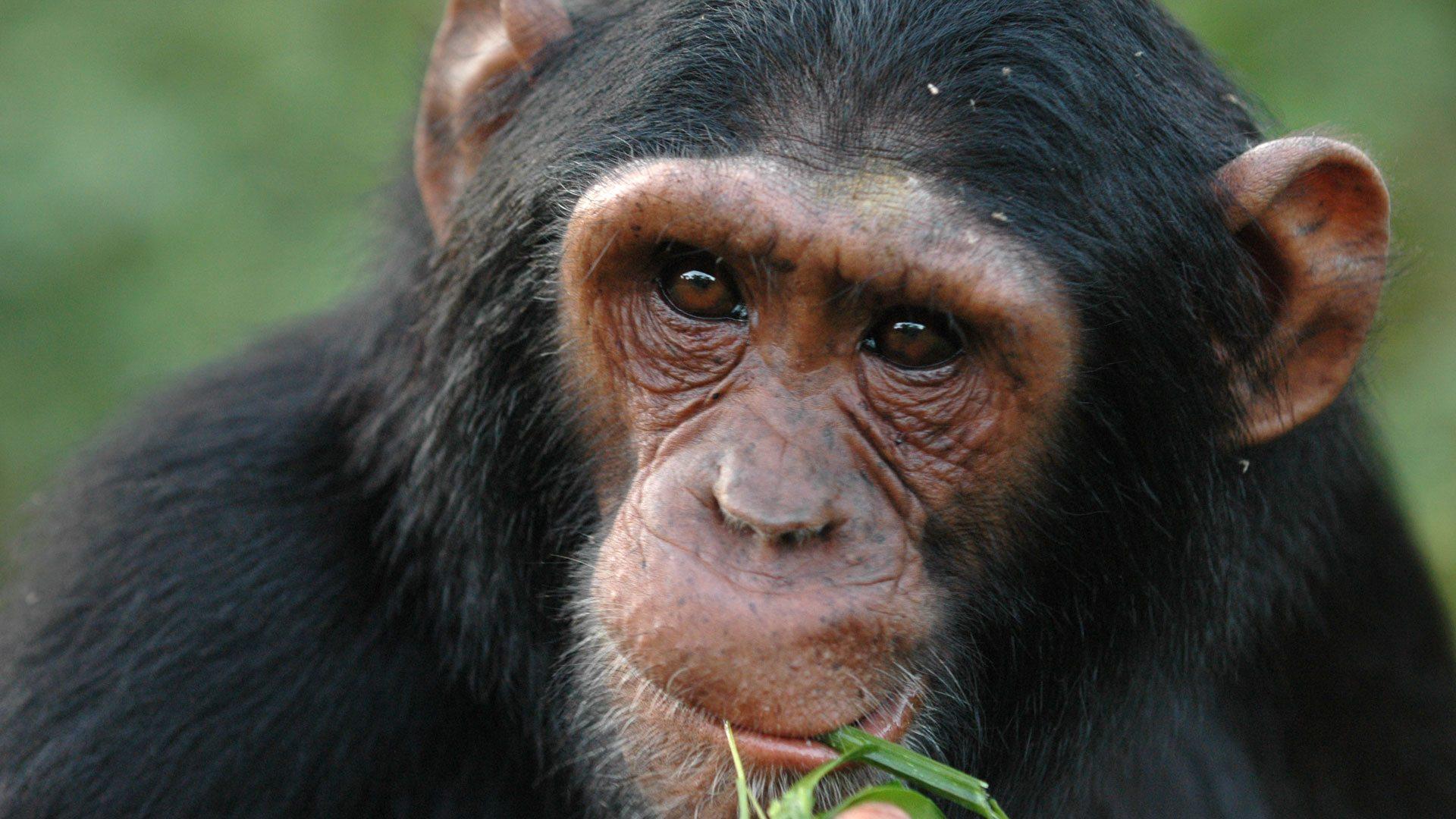 Chimpanzees of Mahale
