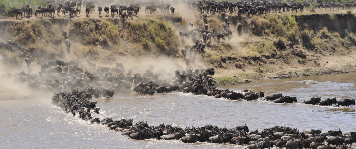 Dramatic wildebeest river crossing