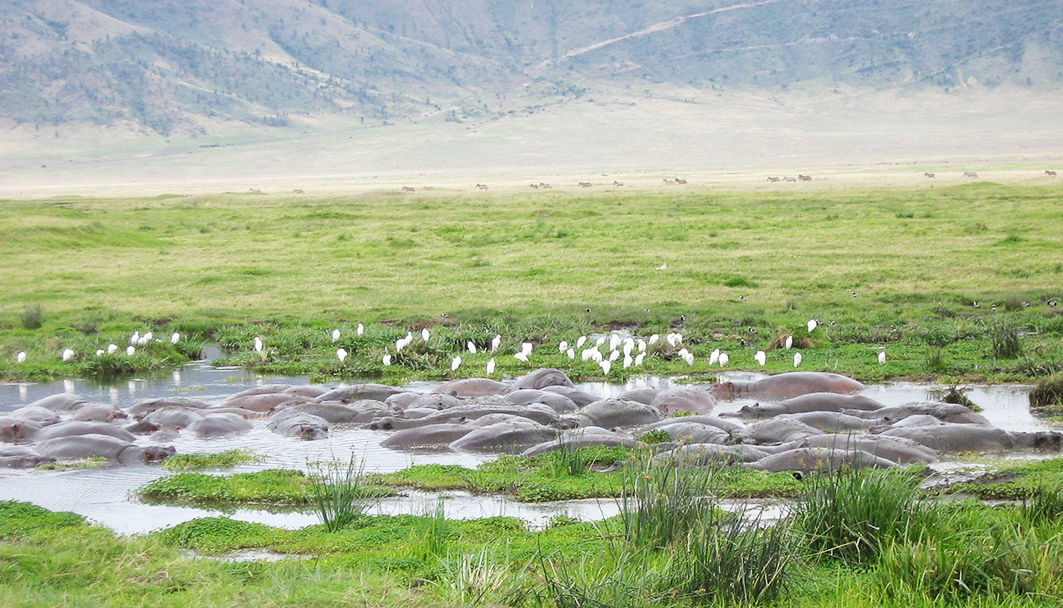 Raft of Hippo in Ngorongoro lake