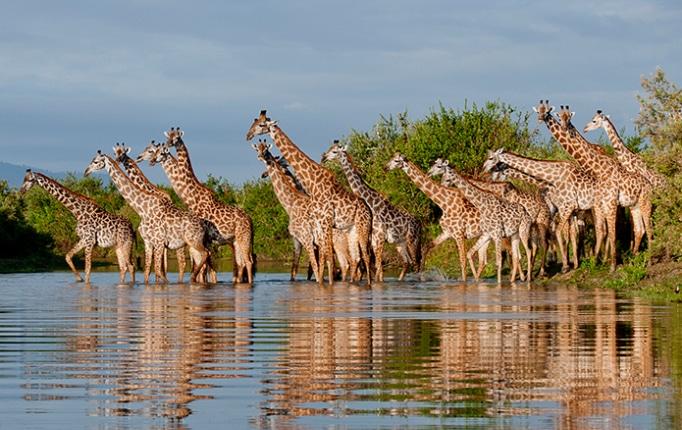 Giraffe Herd in the Rufiji River