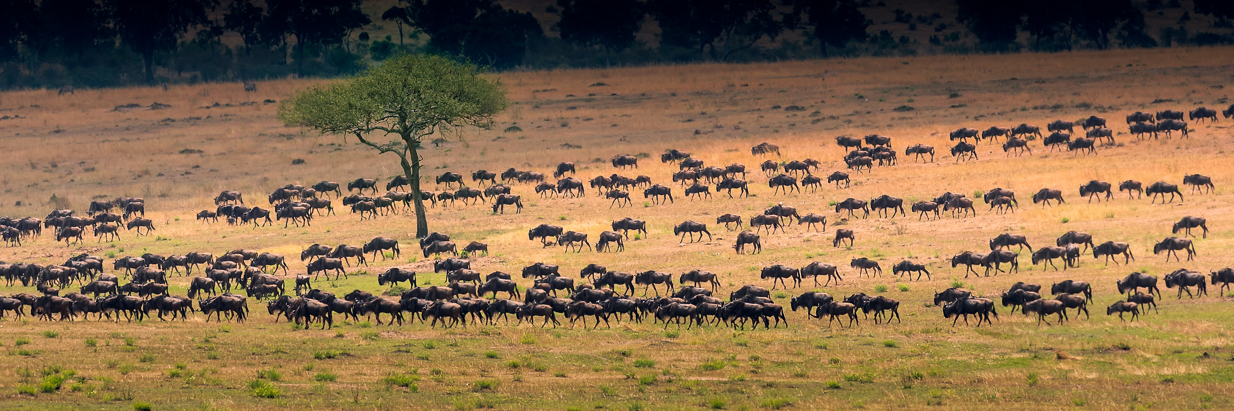 Serengeti - Wildebeest on the move