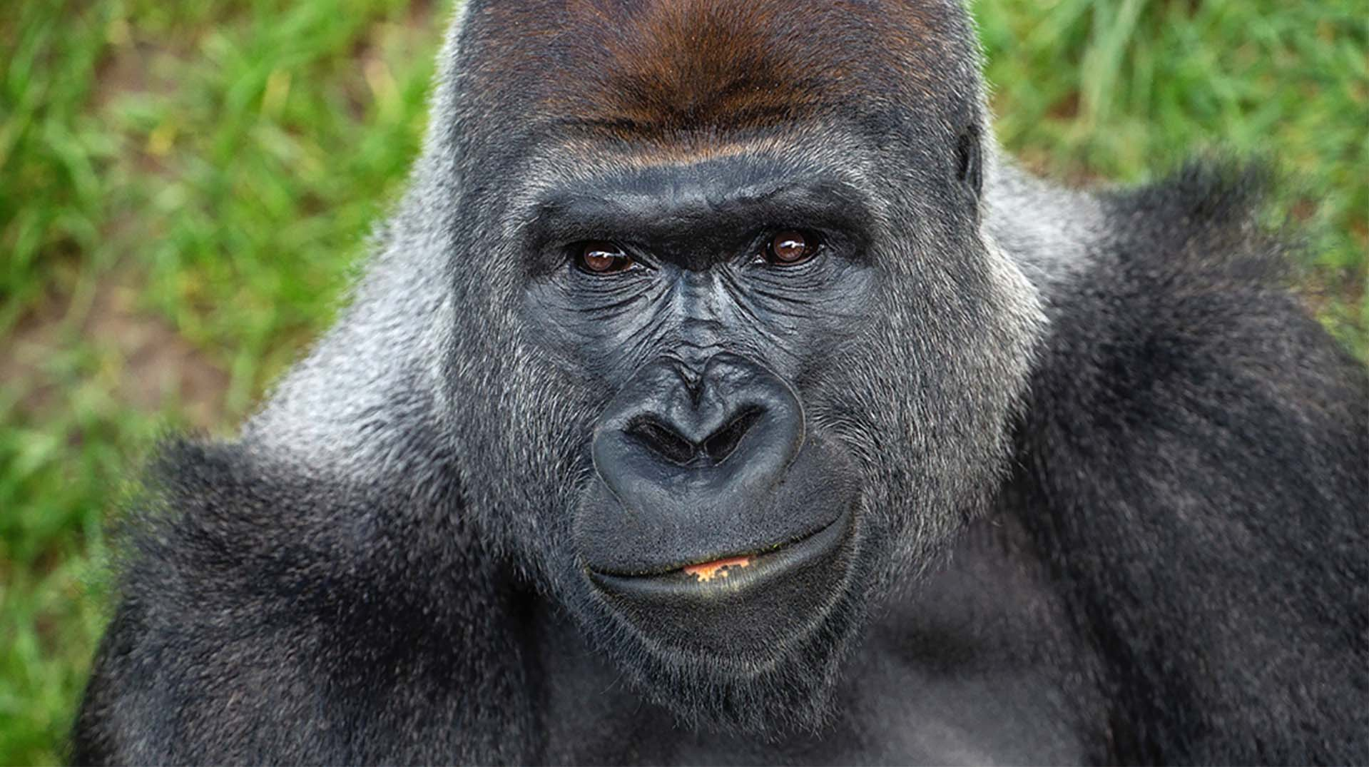 A silverback gorilla male