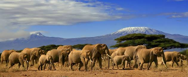 Elephants while on safari in the Amboseli National Park against the backdrop of Kilimanjaro