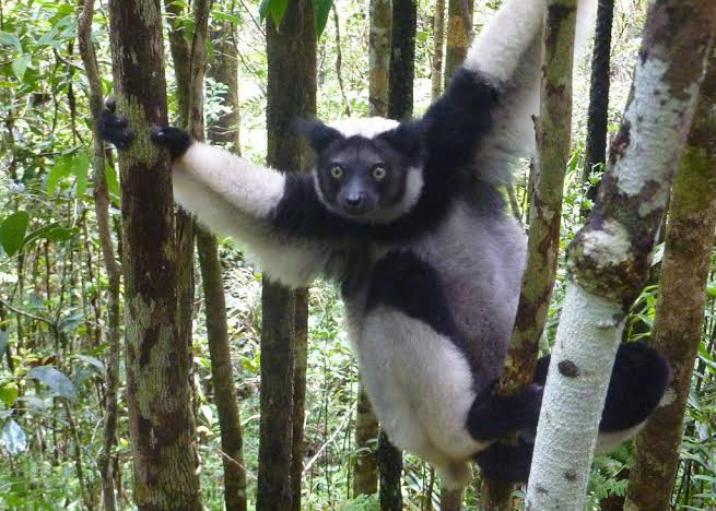 Largest lemur of them all, the Indri