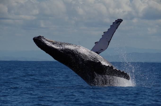 Humpback whale breaching in Antongil Bay