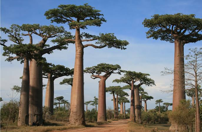 Avenue of Baobabs en route to Morondava