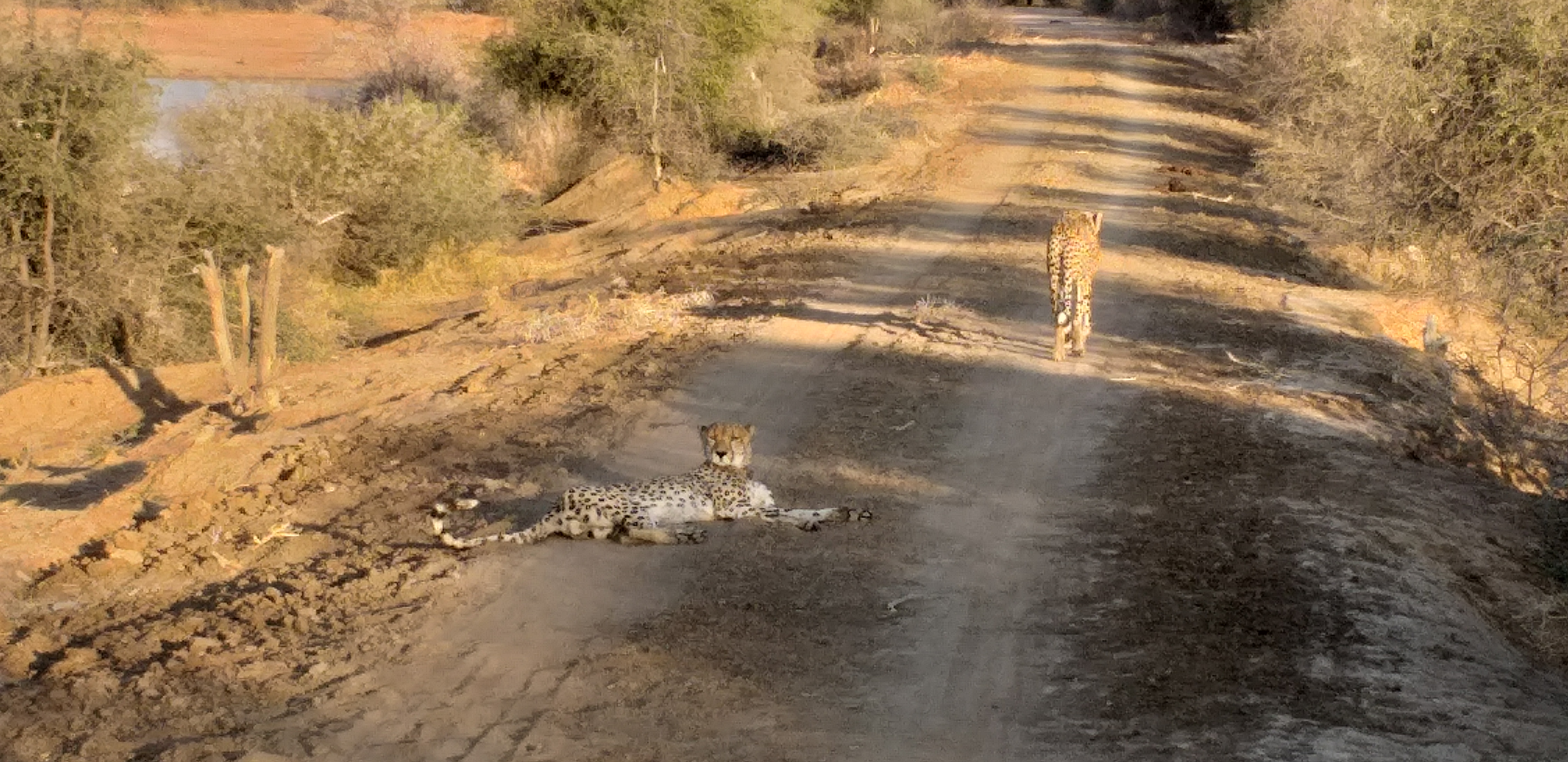 Cheetah, one of Afric's most endangered species