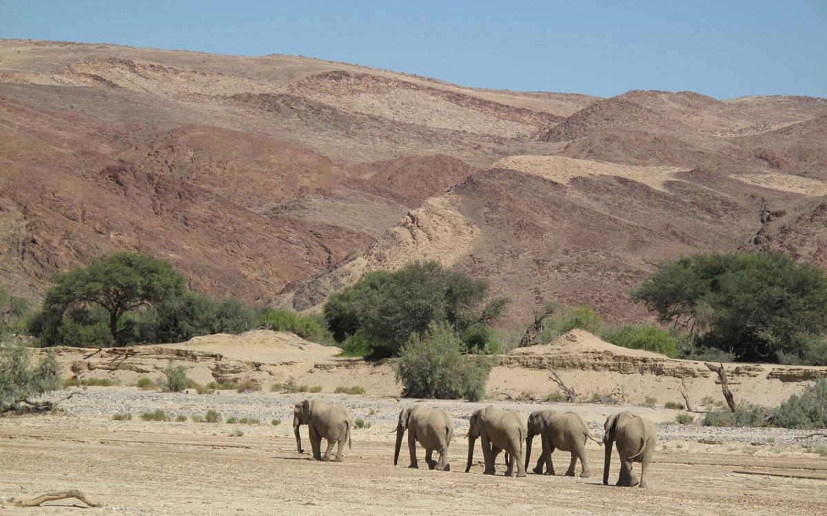 Desert adapted elephant in Kaokaland