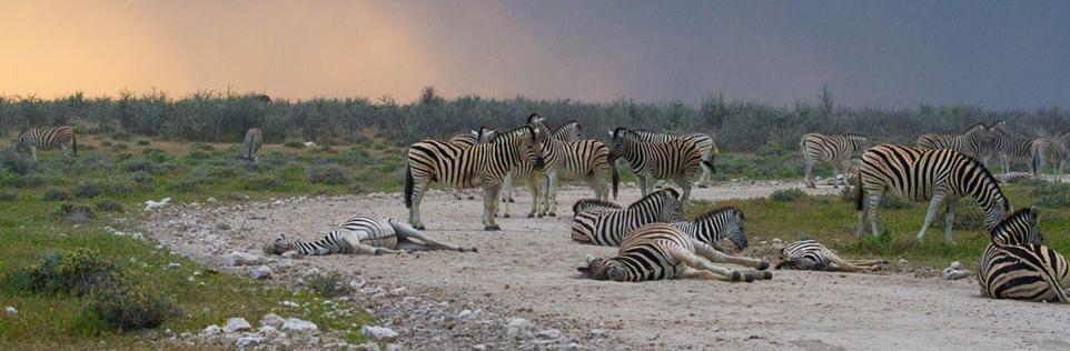 Zebra in the Etosha as the rain approaches