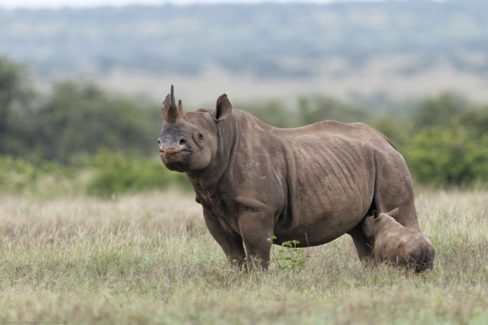 Laikipia is one of the few places to see a rhino while on safari in Kenya