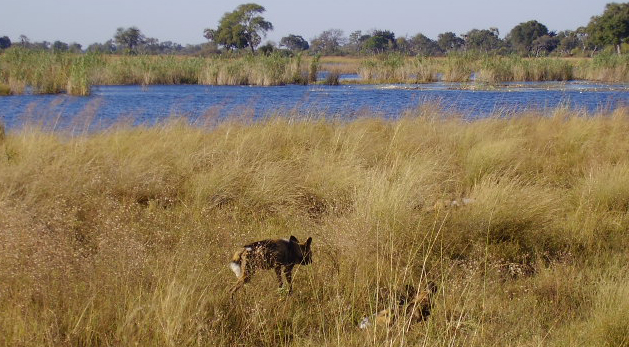 The LInyanti and its wild dogs are one of the main attractions of Botswana