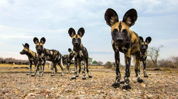 Wild Dogs in the Madikwe