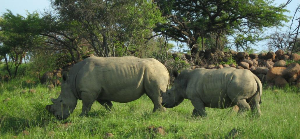 Rhino in the Nambiti Private Game Reserve
