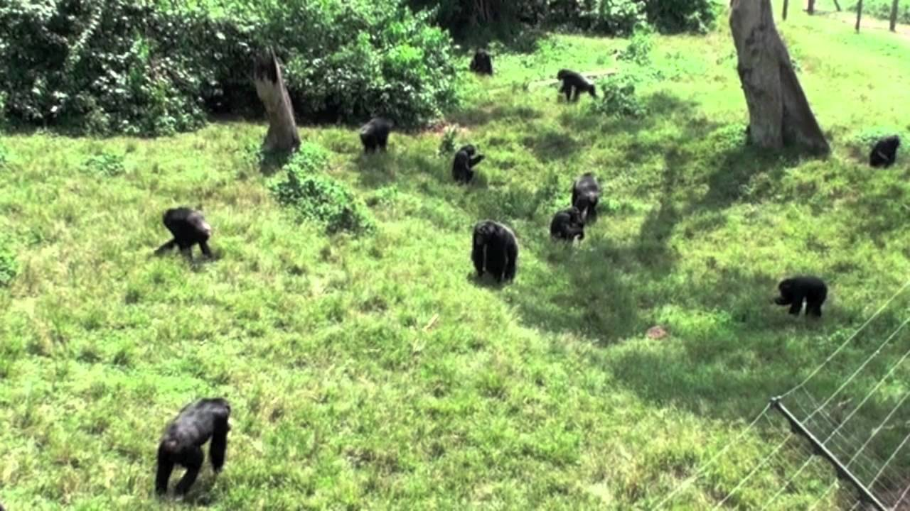 Chimps of Ngamba Island Sanctuary