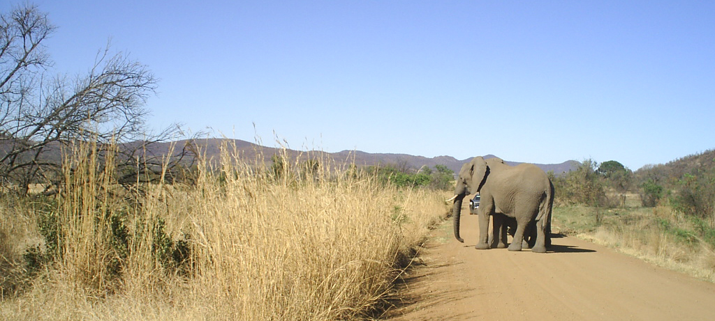 Elephants on the road in the Pilanesberg