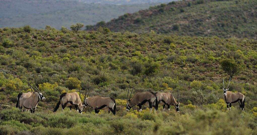 Oryx on Sanbona