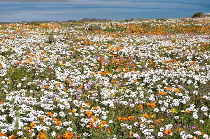 Flowers displays in the West Coast National Park in spring