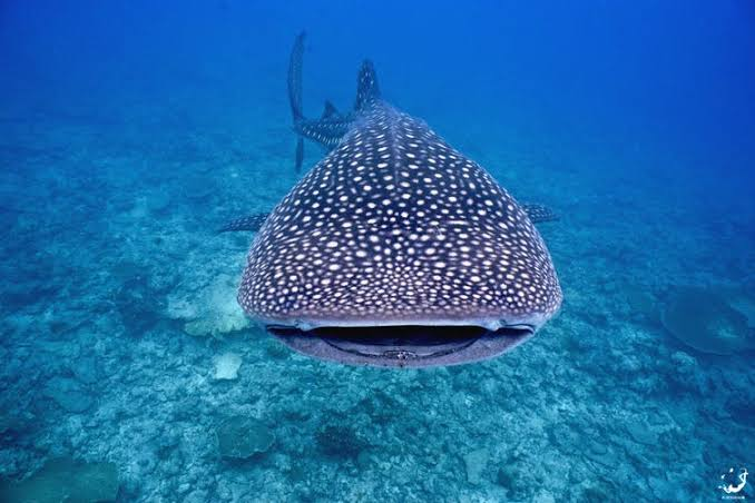 Whale Sharks are often seen in Tofo Bay