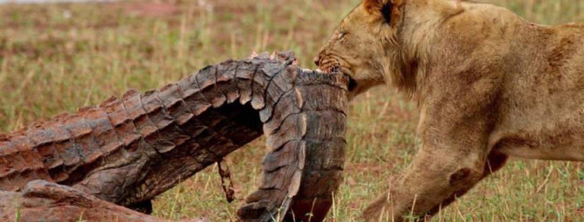 Lion attacking a crocodile is not that uncommon in Matusodona
