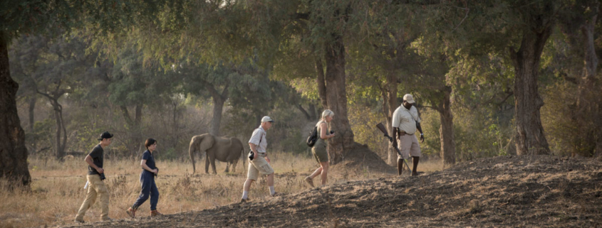 Walking safari in Mana Pools showing an unconcerned elephant and guide