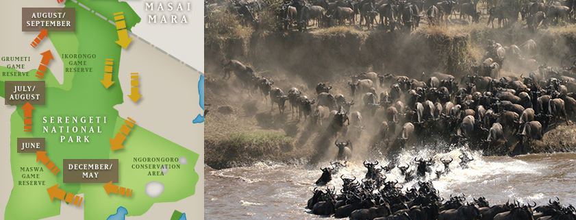 Annual Wildebeest Migration in the Serengeti eco system